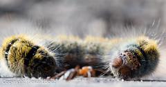 Anty and the Worm | Anty y el Gusano (zoitrix) Tags: naturaleza macro nature monster insect nikon ant desenfoque worm gusano hormiga monstruo insecto d3200