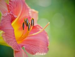 Open for Business (Sun Dogs & Daylilies) Tags: light sun flower nature outdoors lumix prime petals pistil panasonic stamen daylily pollen 45mm gx8 mft panasoniclumix microfourthirds dmcgx8