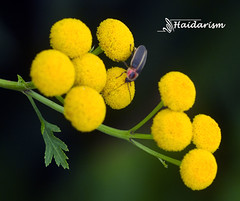 Ten Yellow Flowers (haidarism (Ahmed Alhaidari)) Tags: ten yellow flower bud plant bokeh outdoor nature depthoffield sonya65 macro macrophotography green leaf insect animal bug