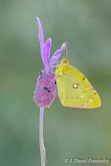 Simple (Dani (Atrus)) Tags: coliasdeberger coliasalfacariensisribbe mariposa butterflies jdanielfernndez elrincndelosprotegidos espaa spain fauna naturaleza