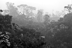 Ecuadornian jungle in a fog.  Along hwy 45 on the eastern slope of Andes, Ecuador. (cbrozek21) Tags: trees blackandwhite fog ecuador jungle treesilhouettes