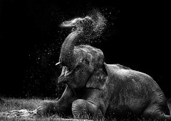 Asian elephant spraying itself with mud (*steve booth) Tags: life new wild summer bw india white playing elephant black hot art nature contrast laughing mouth asian fun shower happy bath funny asia play mud pentax earth wildlife indian humour dirt laugh trunk ricoh muddy tusk