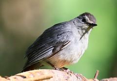 gray catbird at Lake Meyer Park IA 854A0156 (lreis_naturalist) Tags: park county lake gray reis iowa larry meyer catbird winneshiek