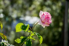 Rose in Los Gatos (randyherring) Tags: california ca morning red flower green leaves rose closeup fence us flora unitedstates bokeh outdoor background blurred depthoffield bloom losgatos springflowers roseflower bloomingflower