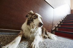 Langpfoten-Ivy (shoe_nina) Tags: dog wideangle hund bordercollie aussie australianshepherd weitwinkel redmerle ivytheaussie ivytheaussietumblrcom sommekhlung