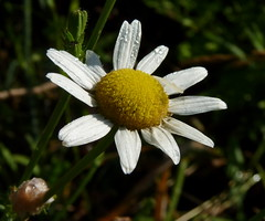 Ox-eye Daisy (Dendroica cerulea) Tags: summer white plant flower newjersey nj highlandpark asteraceae leucanthemum oxeyedaisy leucanthemumvulgare middlesexcounty asterales donaldsonpark