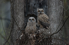 A cold, dark, wet morning owls (snooker2009) Tags: baby bird nature babies nest wildlife great owl nesting horned owlet owlets