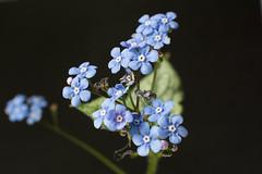 DSC_0031 (hans_verduin) Tags: flower macro hans verduin