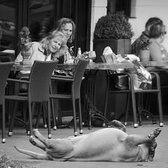 Impressing the ladies (andzwe) Tags: haarlem terrace terras dog upsidedown back impressing opznrug onhisback dames ladies watching street straat stoep troitoir dutch netherlands nederland stad panasonicdmcgh4 panasoniclumixdmcgh4 © andzwe may2 2015 parklaan kruisweg 55 petitparis