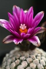 Turbinicarpus valdezianus (syn. Pelecyphora) (Pterodactylus69) Tags: cactus flower fleur succulent flor cactaceae botany blte kaktus botanik sukkulent