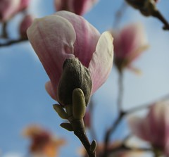 Aufgehende Magnolien (Poesia's Picture's) Tags: spring april magnolien 2015 frhling