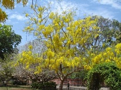 Blowssom of Golden Shower Tree or Cassia fistula (Anulal's Photos) Tags: flowers vishu goldenshower konnappoo amaltas raela bahava flowerflower vishukani indianlaburnum kanikonna kanikkonna ratchaphruek keralakerala bendralathi dhanbaher konrai garmalo kakke sunari goldenshowercassia sonalu kaniflower aragvadha konnaflower konaflower vishukonna bandarlathi kritamala chaturangula suvarnaka vishupoovu karnikaram bandarlauri dhanbohar girimaloah anikkonna ophirpponnu vishupoo kanipoov vishuflower konakani flowervishuvishu