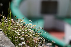 Fleurs (H.Baudron) Tags: lebono