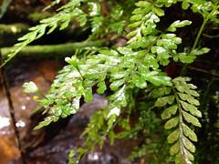 Mother Spleenwort (Asplenium bulbiferum ssp. gracillimum) Victoria, Australia (Adam759) Tags: asplenium aspleniaceae arfp trfp vrfp arffern aspleniumbulbiferumsubspgracillimum cooltemperatearf warmtemperatearf mixedarf