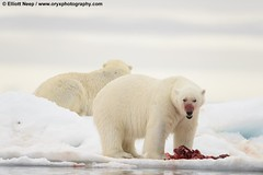 Polar Bear by Elliott Neep (ORYXphotography) Tags: bear red sea white ice nature water animal norway horizontal standing mammal outdoors death togetherness blood melting day feeding eating wildlife hunting arctic polarbear deadanimal threats sj strength iceberg posture copyspace polar aggression scandinavia sideview majestic sidebyside carnivorous survival spitsbergen globalwarming aquaticmammal icefloe mouthopen facialexpression animalsinthewild seawater carnivora animalbehaviour maleanimal adultanimal alertness lookingatcamera twoanimals animalbone thenaturalworld ontopof colourimage driftice surfacelevel coldtemperature vulnerablespecies svalbardislands svalbardandjanmayen animalcarcasses sjuoyane