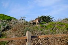 Deer in Asilomar (Xaf) Tags: california usa deer highway1 eua fujifilm pacificgrove asilomar hwy1 ciervo eeuu pacifichighway cervol fujifilmxe2 esfujifilmx