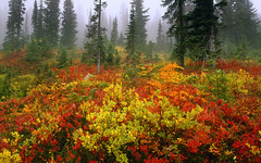 tene7(3493)1 (AndreiCiprian) Tags: morning autumn usa mountain detail green fall nature leaves weather yellow horizontal misty closeup forest landscape outdoors freedom washington nationalpark berry mood loneliness quiet native spirit background scenic peaceful nobody adventure alpine fantasy silence harmony dreams northamerica balance wilderness awe mtrainier idyllic tranquil pristine absence lowangleview traveldestination joncornforthimages