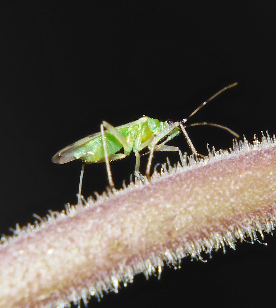 The World's Best Photos of leaf and miridae - Flickr Hive Mind