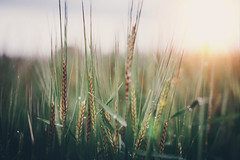 And they're back (Paisley patches) Tags: barley 50mm countryside nikon crops nikkor vsco
