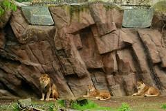 Afrikaanse leeuw - Panthera leo leo - African Lion (MrTDiddy) Tags: cat mammal zoo big kat feline leo african lion bigcat antwerp antwerpen zooantwerpen grote leeuw panthera zoogdier afrikaanse grotekat