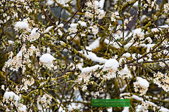 Baumblte im Schnee (TiBoFo) Tags: winter germany pflanzen bume deu frhling laubbaum