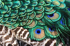 IMG_7225 (hanamizuochi) Tags: 京都動物園 kyoto zoo peacock 孔雀 羽 feathers