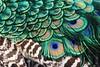 IMG_7225 (hanamizuochi) Tags: 京都動物園 kyoto zoo peacock 孔雀 羽 feathers