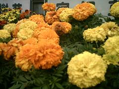 many orange and yellow flowers (-ICHIRO) Tags: street camera toy snap agfa sensor 505d