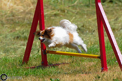 Wystawa_witojaska_2015-58 (Dominik Rzsa) Tags: show dog pet animal speed nikon outdoor agility tamron 70200 fci internationale fdration d300s cynologique