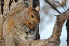 2016 Gray Squirrel (DrLensCap) Tags: park chicago robert nature animal mammal rodent illinois squirrel village north gray center il kramer erobert