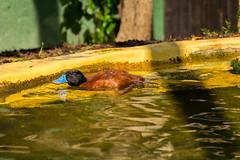 Argentinische Ruderente (JBsLightAndShadow) Tags: blue bird zoo duck nikon beak heidelberg blau ente tiergarten vogel schnabel ruddyduck zooheidelberg argentineruddyduck tiergartenheidelberg nikond3300 d3300 argentinischeruderente ruderente