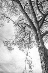 dimond160406-013.jpg (Yvonne Rathbone) Tags: branches height limbs pine stonepine towering tree technical 1855mmf3556gvr blackwhite monochrome wideangle