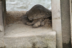 """tote_schildkroete • <a style=""""font-size:0.8em;"""" href=""""http://www.flickr.com/photos/137809870@N02/26819802142/"""" target=""""_blank"""">View on Flickr</a>"""