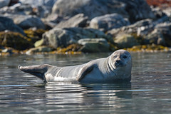 216 Day 4 Svalbard (brads-photography) Tags: one wildlife svalbard arctic seal seals resting spitsbergen hauledout hairseal virgohamna ringedseal phocahispida danskoya