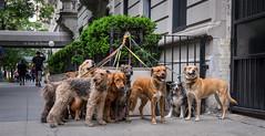 NYC-15.jpg (Patti Houston) Tags: nyc ny newyork dogs dogwalkers thebigapple dogsofnewyork