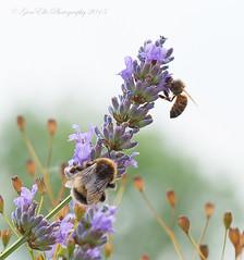 Sharing sweeties (GemElle Photography) Tags: summer flower nikon bees lavender nikkor gemelle gemelle1 gemellephotography