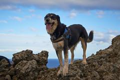 4mai_Thorbjorn_056 (Stefn H. Kristinsson) Tags: dog mountain dogs iceland spring hiking may ma vor hundur sland ganga fjallganga tamron2875mm grindavk hundar grindavik orbjrn nikond800 thornbjorn orbjarnarfell