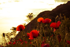 Le rouge dans mes rves (enthimema) Tags: flowers sunset red warm dof outdoor poppies coquelicots