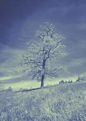 Kent tree (sussexscorpio) Tags: uk blue light sky tree nature field grass rural canon landscape countryside kent spring outdoor may filter infrared fields canon60d