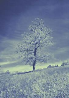 Kent tree