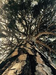 (Coco.Kay) Tags: light tree albero pino tronco luce rami abbraccio