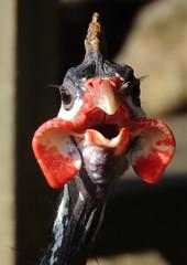 Numida meleagris (cariselazari) Tags: parque chicken nature galinha natureza ave galinhadaangola