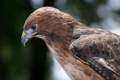 Focus and Determination (MelRoseJ) Tags: nature birds northerncalifornia hawk bayarea alpha redtailedhawk autofocus specanimal sonyalpha specanimalphotooftheday sal70400g a77ii sonyilca77m2