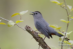 Gray Catbird (Brian Lasenby) Tags: catbird spring color northamerica nature call season environment forest sing behaviour animal territorial trees plant grandbend wildlife green gray perch bird dumetellacarolinensis ontario canada unitedstates lambtonshores places graycatbird