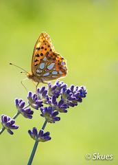 The Queen of Spain fritillary (Skues) Tags: lavender queenofspainfritillary lawenda issorialathonia perowiecmniejszy dostojkalatonia