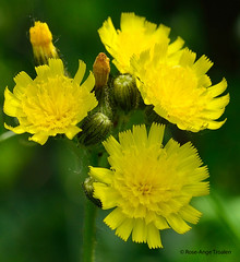 Epervire des prs / Common Hawkweed (anjoudiscus) Tags: canada flower nature fleur yellow jaune juin montral qubec d800 micronikkor105mm 2016 hieraciumpratense commonhawkweed roseange eperviredesprs
