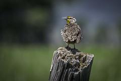 Western Meadowlark, Grand Teton National Park (HDRob) Tags: westernmeadowlark meadowlark wildlife grandtetonnationalpark grandtetons bird