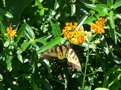 Lunch Time (Flowers Galore) Tags: flowers summer nature butterfly garden butterflyweed butterflyattractant beeattractant perennialbloomer mothattractant antattractant