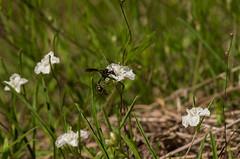 Stylisma pickeringii (Robert Sinclair) Tags: endangered s2 potterwasp burlingtoncountynewjersey dawnflower stylismapickeringii pickeringsmorningglory