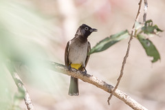 White-spectacled Bulbul at Wadi Darbat S24A8609 (grebberg) Tags: bird march oman bulbul 2016 pycnonotusxanthopygos dhofar whitespectacledbulbul pycnonotus wadidarbat